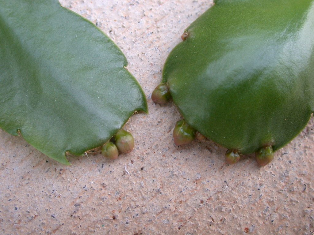 Figure 1. A fall application of Configure at 100 ppm applied to reproductive Christmas cactus plants resulted in increased flower bud production (right), as compared to the untreated control (left).